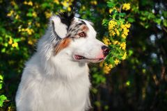 De gelukkige rasechte Australische zitting van de Herdershond op bloeiende mooie kleurrijke bomen in de lente in het park stock foto's