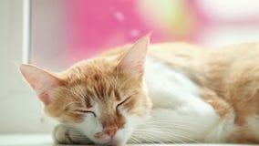 De gelukkige rode slaap van het kattenkatje op de witte vensterbank, sluit omhoog, dynamische scène stock videobeelden