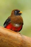 De gemaskeerde van personatus, rode en bruine vogel van Trogon, Trogon-in de aardhabitat, Bellavista, Ecuador Stock Foto's