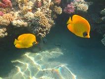 De gemaskeerde Vissen van de Vlinder Royalty-vrije Stock Foto