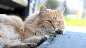 De gember Siberische kat die van Nice in de straat liggen stock videobeelden