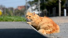 De gember Siberische kat die van Nice in de straat liggen stock video