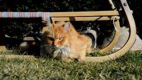 De gemberkat die van Nice op de tuin liggen stock footage