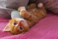 De gemberkat ontspant na spel het katje ligt op zijn rug op roze dekking en koestert een stuk speelgoed royalty-vrije stock afbeelding