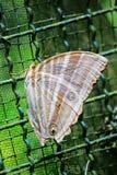De Gemeenschappelijke Amathusia-phidippusvlinder Royalty-vrije Stock Afbeeldingen