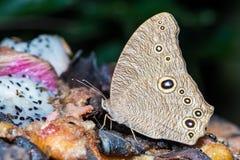 De gemeenschappelijke avond bruine vlinder Stock Foto