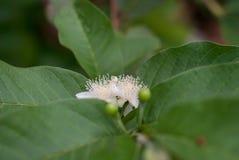 De gemeenschappelijke bloem van de guavepsidium guajava op boom, zachte nadruk royalty-vrije stock foto's