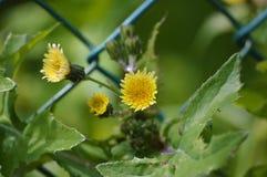 De gemeenschappelijke bloemen die van de zeugdistel door een omheining komen Stock Afbeeldingen