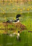 De gemeenschappelijke Duiker zit op Nest stock afbeelding