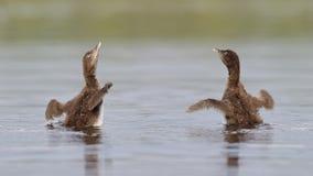 De gemeenschappelijke Duikerkuikens die Hun Vleugels schudden drogen royalty-vrije stock afbeelding