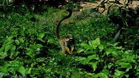 De gemeenschappelijke eekhoornaap Saimiri die Sciureus wat voedsel in vegetatie zoeken en schuurt zijn voorpoten stock footage