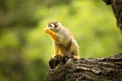 De gemeenschappelijke eekhoornaap, Saimiri-sciureus is zeer bewegende primaat stock foto's