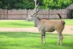 De gemeenschappelijke elandantilope ontspant. stock foto