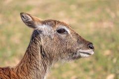 De gemeenschappelijke elandantilope Taurotragus oryx royalty-vrije stock fotografie