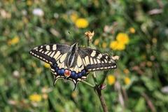 De gemeenschappelijke gele swallowtailvlinder stock afbeelding