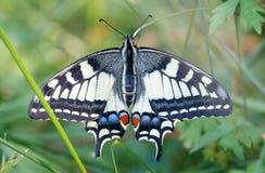 De gemeenschappelijke gele zitting van de swallowtailvlinder in groen gras stock foto's
