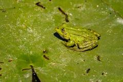 De gemeenschappelijke Groene Kikker van het Kikkermeer of Waterkikker in het water binnen Royalty-vrije Stock Foto