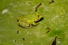 De gemeenschappelijke Groene Kikker van het Kikkermeer of Waterkikker in het water binnen Royalty-vrije Stock Foto's