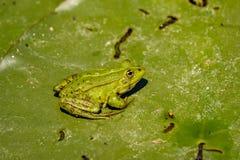 De gemeenschappelijke Groene Kikker van het Kikkermeer of Waterkikker in het water binnen Stock Afbeelding