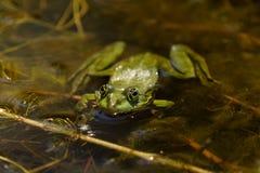 De gemeenschappelijke Groene Kikker van het Kikkermeer of Waterkikker in het water binnen Royalty-vrije Stock Afbeelding