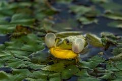 De gemeenschappelijke Groene Kikker van het Kikkermeer of Waterkikker in het water binnen Stock Foto's