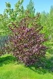 De gemeenschappelijke hazelaar, vormt purpere Corylus avellana L H Karst F Purpurea, algemene mening royalty-vrije stock foto