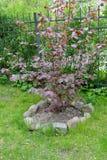 De gemeenschappelijke hazelaar, vormt purpere Corylus avellana L H Karst F Purpurea, een struik in een tuin royalty-vrije stock afbeelding