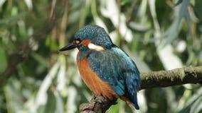 De gemeenschappelijke Ijsvogel (Alcedo-atthis) als jacht, het kijkt vis stock videobeelden