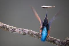 De gemeenschappelijke Ijsvogel vangt een vis Royalty-vrije Stock Foto