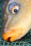 De gemeenschappelijke karper (Cyprinus carpio) Stock Afbeeldingen