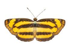 De gemeenschappelijke lascar vlinder op wit Stock Foto