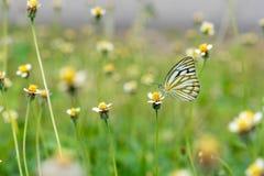De Gemeenschappelijke Meeuw van de vlindernaam: Ceporanerissa (Familly Pieridae) Royalty-vrije Stock Fotografie
