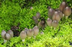 De gemeenschappelijke paddestoelen van de Inkt GLB (atramentaria Coprinus) Stock Fotografie