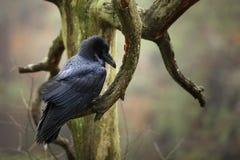 De gemeenschappelijke raaf is de grootste het neerstrijken vogel in Europa - Corvus corax Stock Afbeelding