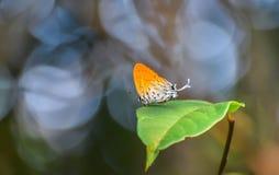 De Gemeenschappelijke Ruikertjevlinder Stock Fotografie