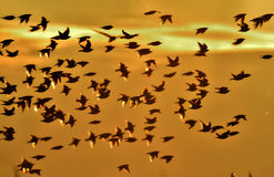 De gemeenschappelijke starling (vulgaris Sturnus) grote troep van vogels in de hemel vormt een abstract patroon Stock Fotografie