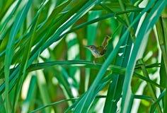 De gemeenschappelijke Tailorbird groene bladen van het rietgras Stock Afbeelding