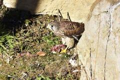 De Gemeenschappelijke Torenvalk, [Falco-tinnunculus] Stock Foto