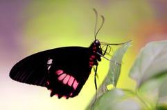 De gemeenschappelijke vlinder, nam, Pachliopta-aristolochiae toe Royalty-vrije Stock Afbeelding