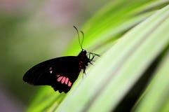 De gemeenschappelijke vlinder, nam toe (Pachliopta-aristolochiae) Royalty-vrije Stock Fotografie