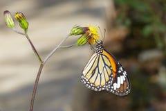 De gemeenschappelijke vlinder van de Tijger op bloem Royalty-vrije Stock Foto's