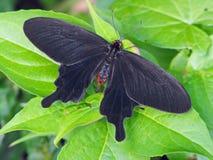 De gemeenschappelijke Vlinder van de Windmolen Stock Afbeelding