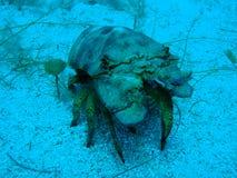 De gemeenschappelijke zeekreeft van de Pantoffel Stock Foto's