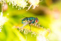 De gemeenschappelijke zitting groene van de flessenvlieg (Lucilia-sericata) op groen weiland stock foto's