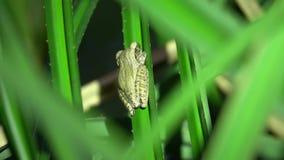 De gemeenschappelijke Zitting van Polypedates van de Boomkikker leucomystax op Blad De Safari van de nachtwildernis in Regenwoud  stock footage