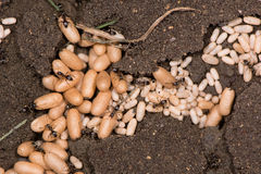 De gemeenschappelijke zwarte mieren (Lasius Niger) poppen sluiten omhoog Stock Fotografie