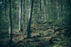 De gemengde bosfoto die van Greenwood donkere nevelige altijdgroene speld afschilderen Royalty-vrije Stock Afbeeldingen