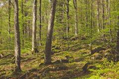 De gemengde bosfoto die van Greenwood donkere nevelige altijdgroene speld afschilderen Royalty-vrije Stock Foto