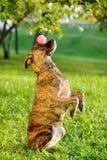 De gemengde in evenwicht brengende bal van de rassenhond op neus stock foto's