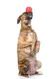 De gemengde in evenwicht brengende bal van de rassenhond op neus Op wit stock foto